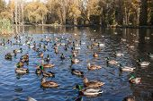 Urban Autumn Park With Lots Of Wild Ducks And Drakes On Pond On Sunny Morning. poster