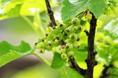 Immature, Green Currant Berries On The Bush. Young Berries Of Red Currant. Not Ripe Red Currant In D poster