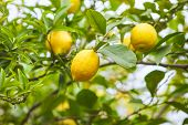 Lemon. Ripe Lemons Hanging On Tree. Growing Lemon poster