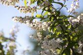 Summer White Flowers Bloom. Branch White Flowers. White Buds. White Flowers Blurred Background. Whit poster