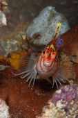 image of hawkfish  - A close up on a hawkfish on coral Sulawesi Indonesia - JPG