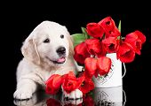 Golden puppy retriever and flowers tulips poster