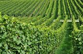 stock photo of foreshortening  - foreshortening of hilly vineyard with multiple lines of plants in a green rustic landscape - JPG