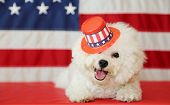 Bichon Frise Dog with American Flag. A purebred Bichon Frise female dog smiles and wears a hat as sh poster