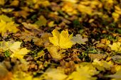 One Fallen Autumn Maple Leaf On The Background Of The Earth Covered With A Variety Of Other Leaves.  poster