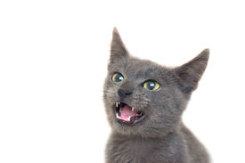 pic of funny animals  - Angry grey cat with yellow - JPG