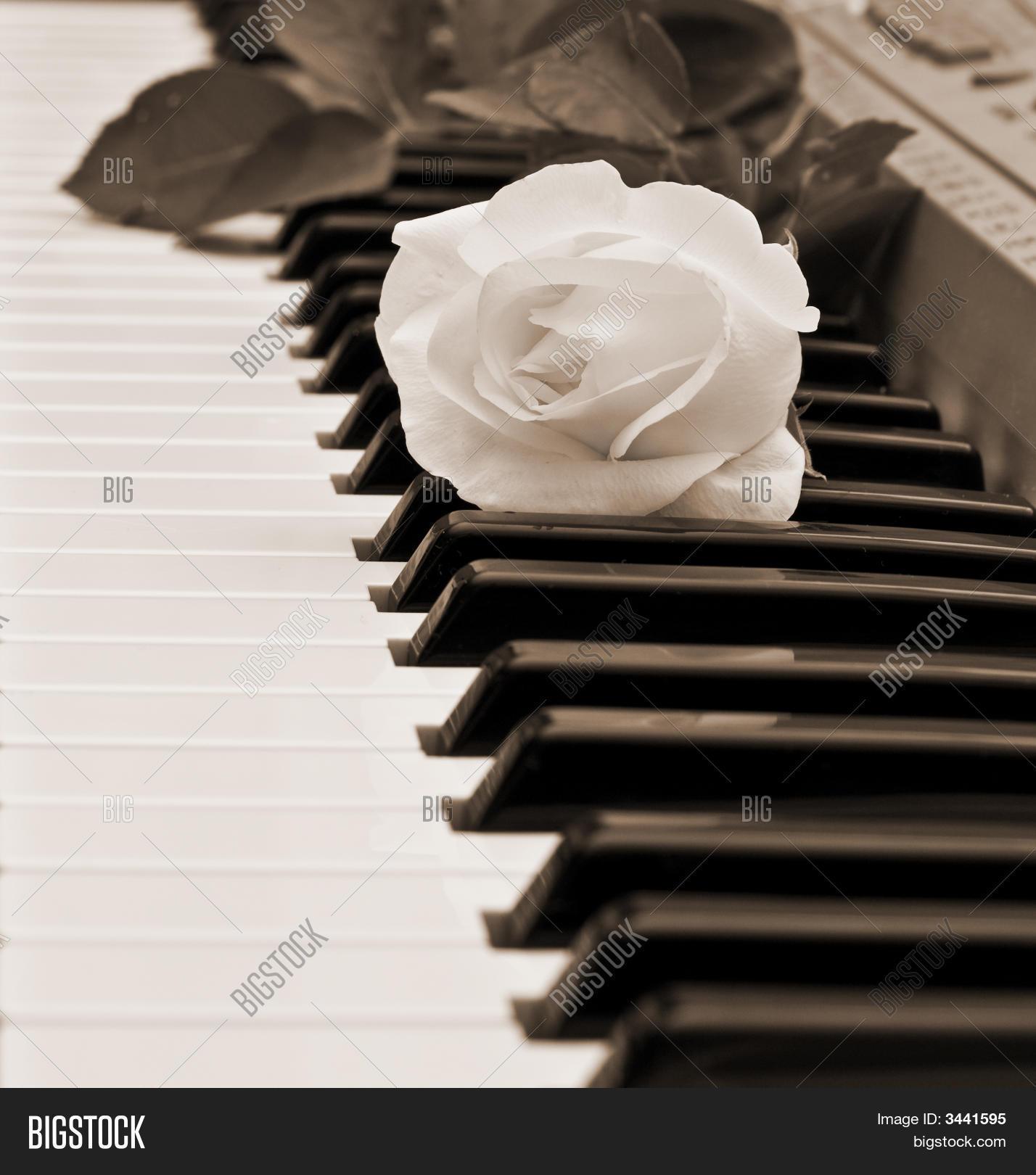 Beautiful White Rose On Piano Image & Photo | Bigstock