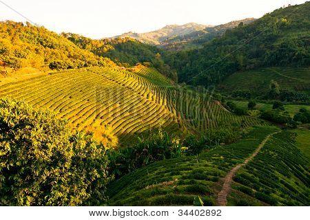 Teeplantage bei Sonnenuntergang