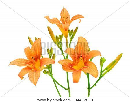 Blooming Day-lily On A White Background