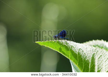 Blue male Banded Demoiselle
