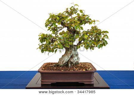 Korean Hornbeam As Bonsai Tree
