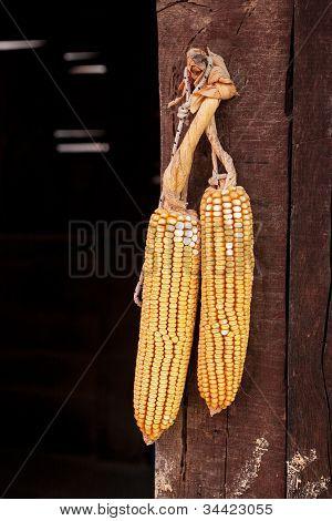 Two corncobs