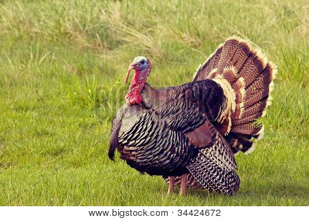 Turkey Tom