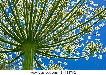 Giant Hogweed (heracleum Sphondylium) From Below