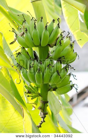Bunch Bananas On Tree