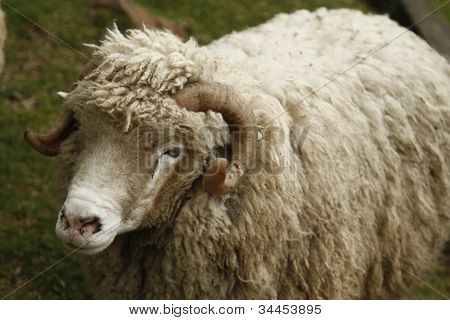 Wooly lamb on the meadow