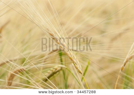 Yellow grain ready for harvest