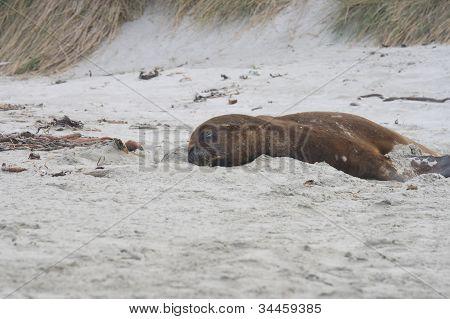 Sea Lion On Sand