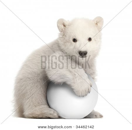 Polar bear cub, Ursus maritimus, 3 months old, with white ball sitting against white background