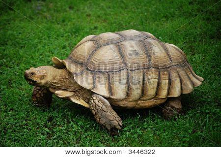American Tortoise