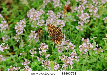 Thymus with butterfly