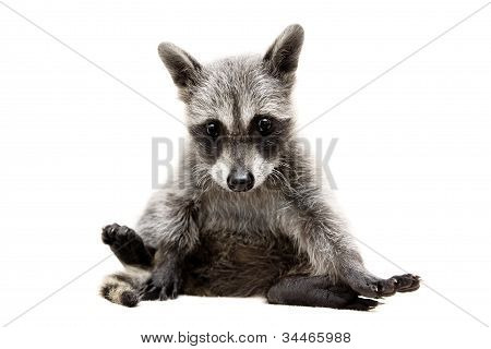 Baby raccoon on white