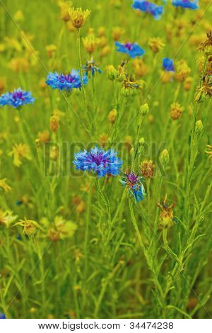 Blue and Cyan Colored Cornflower, also called Bachelor Buttons. This flower is  National Symbol of Belarus and Germany.