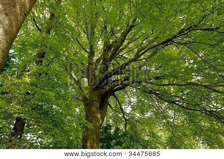 Beech Canopy Green Leaves Tree