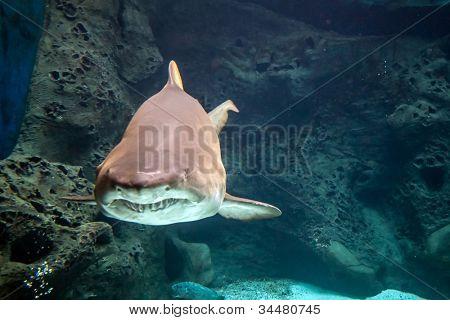 Shark underwater in natural aquarium