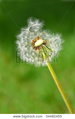 Dandylion weeds in a yard or field