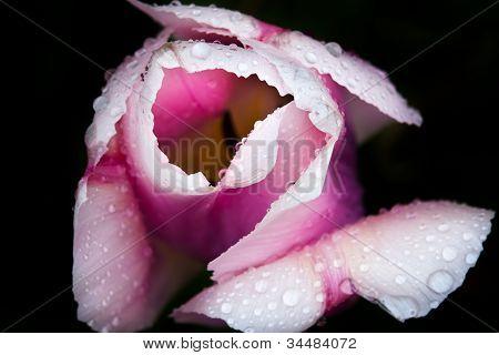 Purple White Tulip Flower Skagit Valley Washington State
