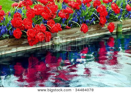 Red Tulips Blue Grape Hyacinty Reflection Skagit Valley Washington State