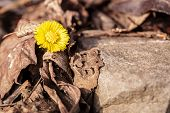 Yellow Flower Grew From Under The Stone In Early Spring,early Spring Blooms Of Coltsfoot Signaling W poster