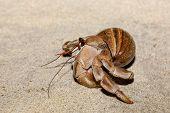 Hermit Crab On Beach In Snail Shell, Farankaraina National Park Rainforest, Madagascar Wildlife And  poster