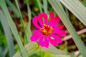 Pink Summer Cosmos Flower - In Latin Cosmos Bipinnatus - At The Summer Meadow, Selective Focus At Th poster