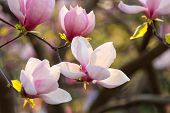 Magnolia Pink Blossom Tree Flowers, Closeup Branch, Outdoor. Beautiful Flowering, Blooming Tree - Bl poster
