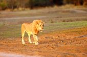 The Southern Lion (panthera Leo Melanochaita) Or Eastern-southern African Lion. A Large Very Blond D poster