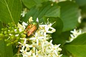 Green Beetle On The Flowering Plants
