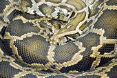 stock photo of burmese pythons  - coiled burmese python  - JPG