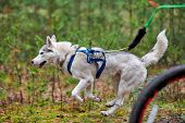 Bikejoring Sled Dog Mushing Race. Husky Sled Dogs Pull A Bike With Dog Musher. Autumn Competition. poster