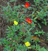 Red And Yellow Flowers. Red And Yellow Flowers In The Park. Spring Flowers Of Red And Yellow Color,r poster