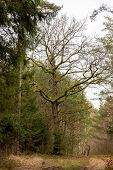 Oak Growing In A Coniferous Forest. Tree With Branches Covered With Moss. poster