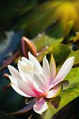 foto of lillies  - Beautiful lotus flower and background - JPG
