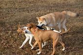 Cute Amstaff Puppy, Akita Inu Puppy And Estonian Hound Puppy Are Playing In The Autumn Park. Pet Ani poster