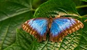 Beautiful Closeup Of A Peleides Blue Morpho Butterfly With Open Wings, Tropical Insect Specie From A poster