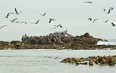 Coastal Scene Of A Flock Of Seagulls And Coastal Birds With A Large Outcrop Of Rocks Early In The Mo poster