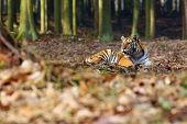 The Siberian Tiger (panthera Tigris Tigris), Also Called Amur Tiger (panthera Tigris Altaica) Lies I poster
