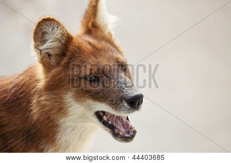 Portrait Of An Australian Dog, A Dingo