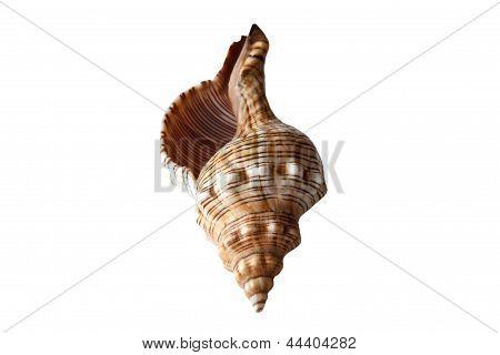Isolated Sea Nautilus Shell