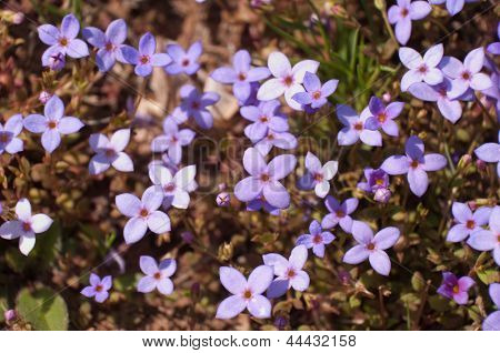 Houstonia pusilla, Least Bluet, a tiny lavender ground cover wildflower blooming in spring